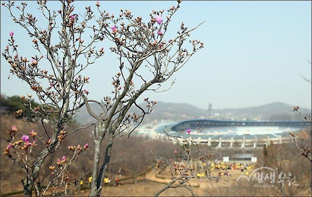 ▲ 기나긴 겨울을 이겨내고 분홍빛 꽃망을을 터트리기 시작한 진달래