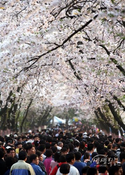 ▲ 2015년 도당산 벚꽃축제