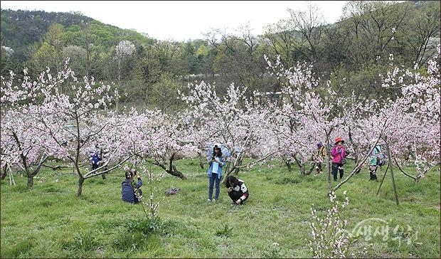 ▲ 춘덕산 복숭아꽃축제