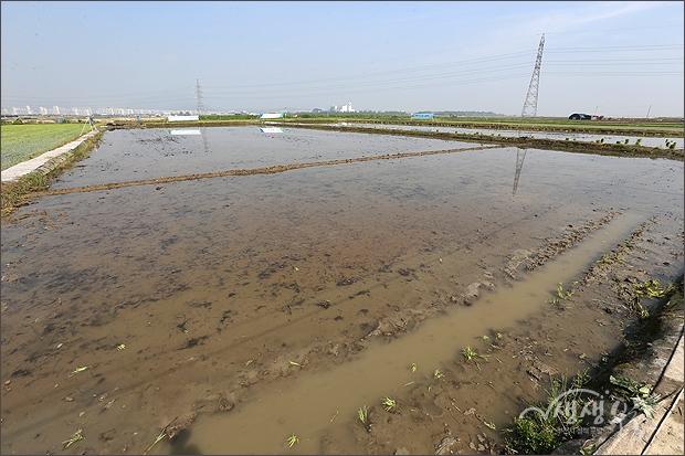 ▲ 손으로 모를 심을 넓은 논에 물이 가득찬 모습