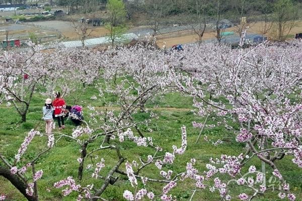 ▲ 복숭아 꽃이 만개한 춘덕산