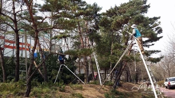 ▲ 시민의 강 주변 소나무 가지치기 하는 모습