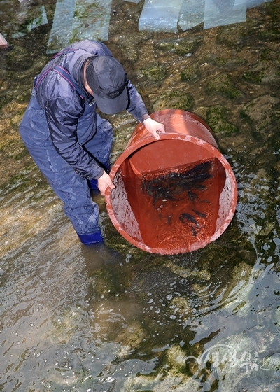 ▲ 삼정천에는 상동 호수공원에 서식하던 물고기를 방류했다.