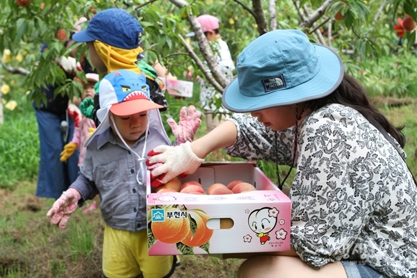 ▲ 춘덕산 복숭아 수확체험 모습