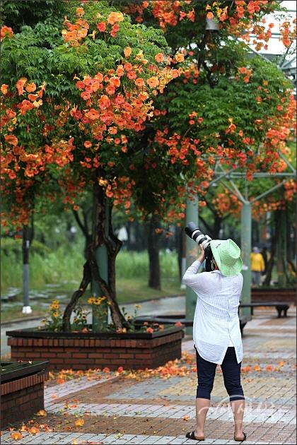 ▲ 능소화 꽃을 카메라에 담는 사람들