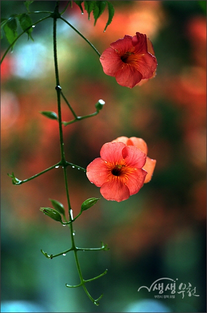 ▲ 빗방울이 맺힌 능소화 꽃잎