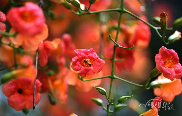 ▲ 중앙공원 능소화 꽃길에서.