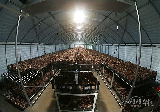 ▲ 여월 청춘농장 배섯 재배 하우스
