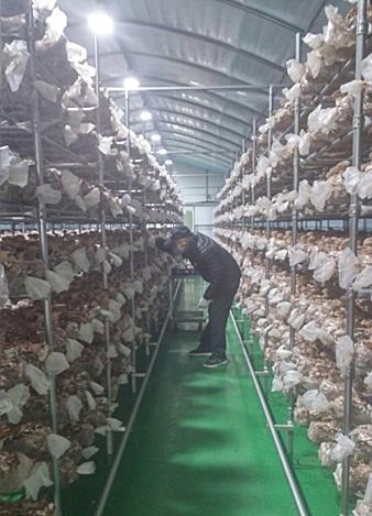 ▲ 여월청춘농장 송화버섯 재배동 모습