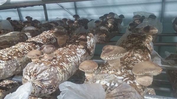 ▲ 어르신들의 노력으로 키워지는 송화버섯 모습
