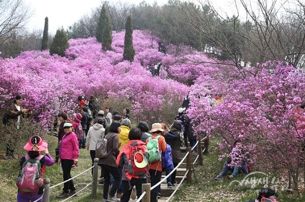 ▲ 원미산 진달래 축제