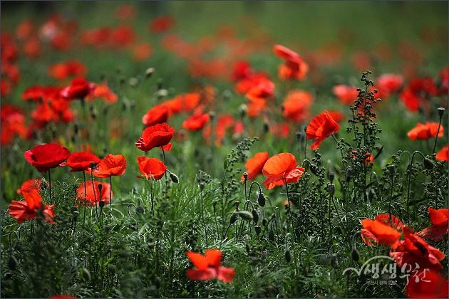 ▲ 양귀비꽃과 코스모스가 만발한 상동호수공원