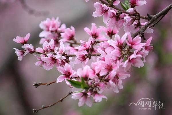 ▲ 춘덕산 복숭아꽃