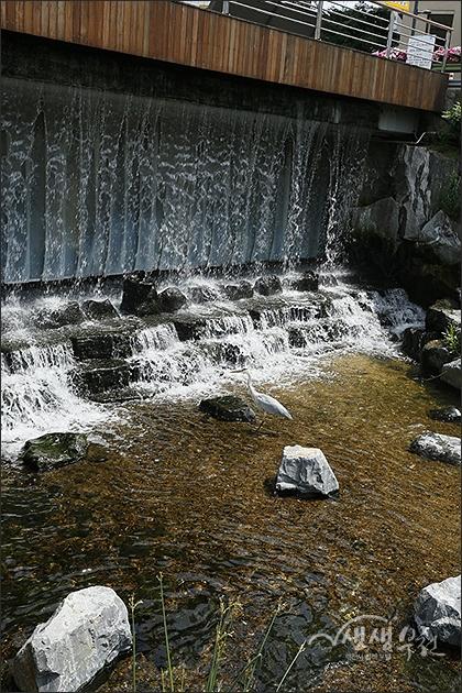 ▲ 심곡시민의강 왜가리의 물고기 사냥