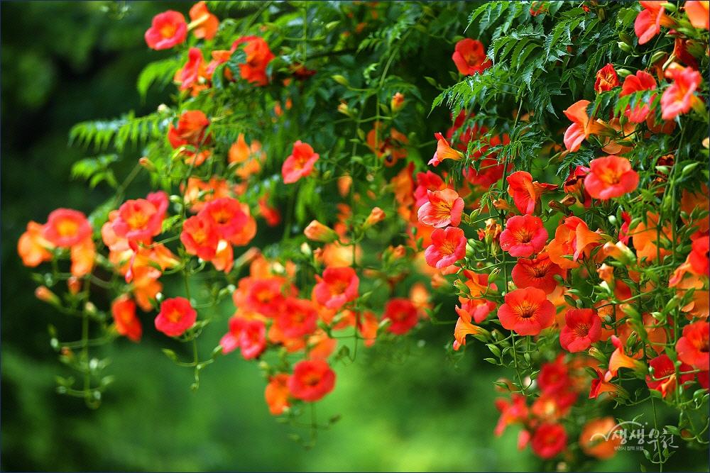 ▲ 중앙공원에 만발한 능소화 꽃터널