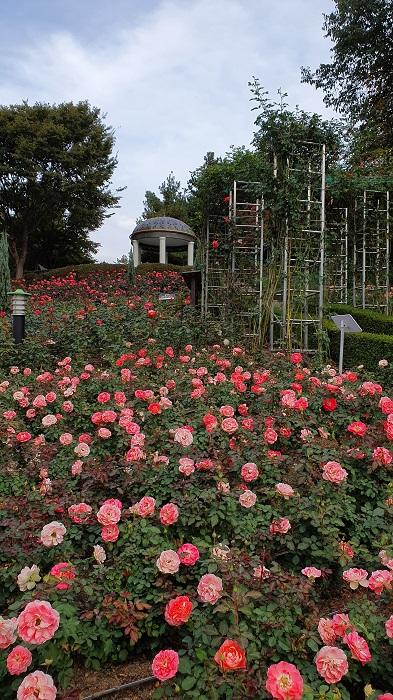 ▲ 백만송이장미원의 가을 장미