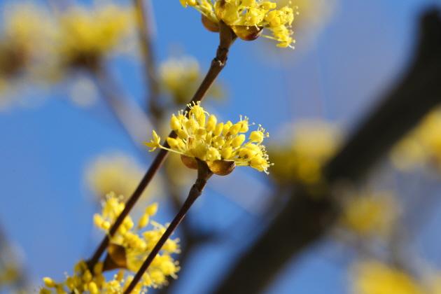 ▲ 산수유꽃