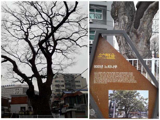 호현로에 자리한 800년 된 느티나무.