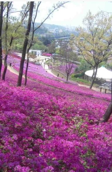 ▲ 고강 선사유적공원 內 철쭉