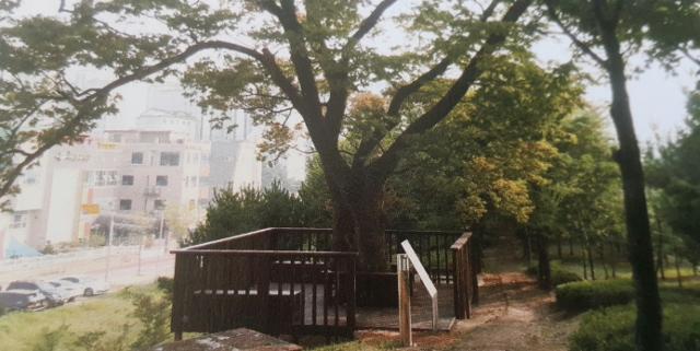 ▲ 배모탱이마을의 느티나무(출처:책자사진)